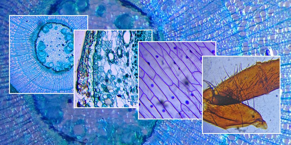 Fotografiranje skozi mikroskop s pametnim telefonom.
